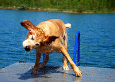 Golden Dog Shakes off Blue Water Stock Photos