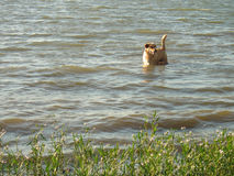 Golden Dog Standing in River Water. A golden retriever mix standing in an Alabama river`s waves royalty free stock images