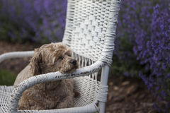 Golden dog on wicker chair and purple lavender. A golden colored dog resting near purple lavender on a white wicker chair Stock Images