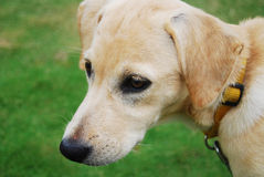 Golden Doggy. A white and golden dog Royalty Free Stock Photography