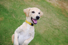 Golden Doggy. A white and golden dog welcoming Stock Image