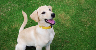 Golden doggy. A white and golden dog sitting on the grass Royalty Free Stock Image