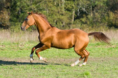 Golden Don horse stallion runs gallop Royalty Free Stock Images