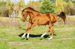 Golden Don horse stallion runs gallop. In summer Stock Photo