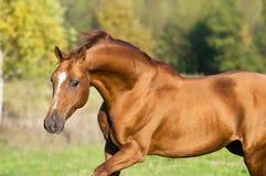 Golden Don horse stallion runs gallop. In summer Stock Image