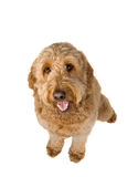 Golden Doodle. Dog sitting and panting on a white background stock photo
