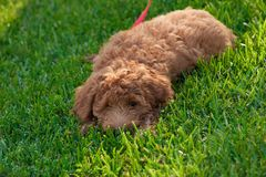 Golden doodle. Pooch Stock Photos