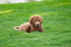 Golden doodle. Small puppy relaxing Royalty Free Stock Images