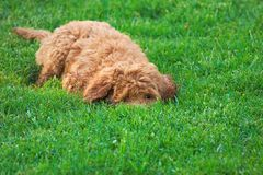 Golden doodle. New dog breed Royalty Free Stock Photo