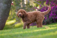 Golden doodle. Awesome puppy Royalty Free Stock Image