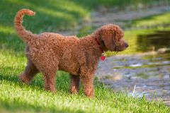 Golden doodle. Puppy looking at lake Stock Photography