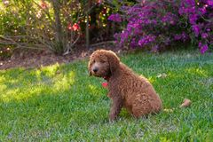 Golden doodle. Posing puppy Royalty Free Stock Photo