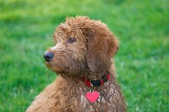 Golden doodle. Newly appeared dog breed Stock Image