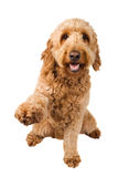 Golden Doodle Dog. Offers a paw to shake stock photography