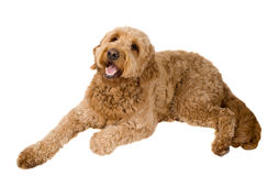 Golden Doodle Dog. Laying down looking up isolated on white royalty free stock photos