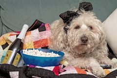 Dog Watching Sport Events on Tv Cuddled in Quilt with Popcorn stock images