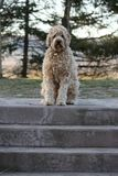 A golden doodle dog Royalty Free Stock Image
