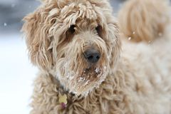 A golden doodle dog in the snow Royalty Free Stock Image