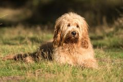 Golden Doodle stock image