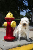 Golden Doodle By Fire Hydrant Royalty Free Stock Photo