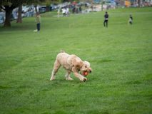 Goldendoodle grabs ball while playing fetch stock image