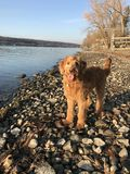 Golden doodle by lake Royalty Free Stock Image