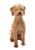 Golden Doodle Mixed Breed Sitting Stock Image