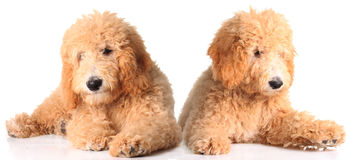 Golden doodle puppies. Two golden doodle puppies isolated on white royalty free stock images