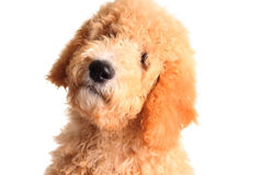 Golden doodle puppy royalty free stock photography