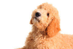 Golden doodle puppy. Isolated on white royalty free stock photography