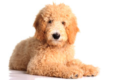 Golden doodle puppy. Isolated on white stock photos