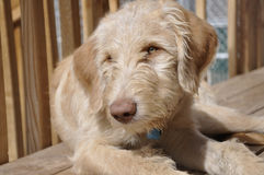 Golden doodle puppy Stock Photography