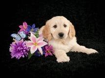 Golden- Doodle Puppy Stock Photos