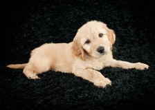 Golden- Doodle Puppy Royalty Free Stock Image