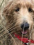 Golden doodle puppy playing in field Stock Photo