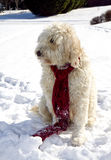 Golden Doodle in Snow Royalty Free Stock Photos