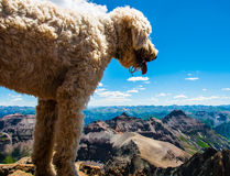 Golden doodle standing on top of the world Stock Photography