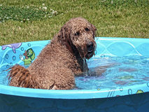 Golden Doodle in Swimming Pool royalty free stock photography