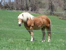 A golden draft horse Royalty Free Stock Image