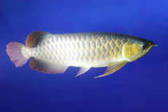 Golden dragon fish. Arowana length 40-50 cm, life expectancy of up to several decades. ferocious, mainly prey live fish, aquatic insects, frogs and the like royalty free stock image