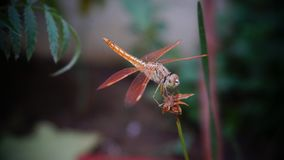 Golden Dragon fly stock photography