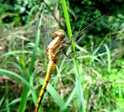 Golden Dragon Fly on Grass Stock Photo