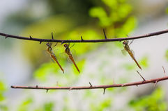 Golden dragonflies in a row Stock Image