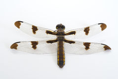 Golden dragonfly. Four winged golden dragonfly on white Royalty Free Stock Image