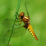 Golden Dragonfly Stock Images