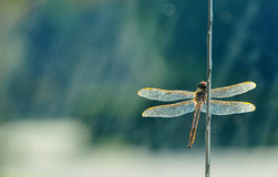 Golden Dragonfly stock photo