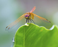 Free Golden Dragonfly Stock Images - 37078894