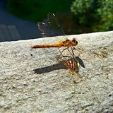 Golden dragonfly royalty free stock image