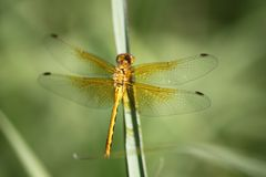 Golden Dragonfly on blade of grass, Brandon Riverbank Discovery Center Stock Photo