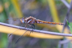 Golden dragonfly Royalty Free Stock Images